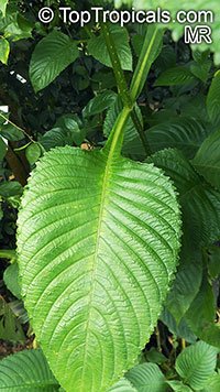 Brillantaisia sp., Tropical Giant Salvia, Fiddle Leaf   Click to see full-size image