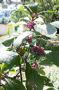Callicarpa sp., Beautyberry  Click to see full-size image
