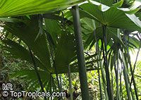 Carludovica palmata, Panama Hat Plant, Toquilla Palm  Click to see full-size image