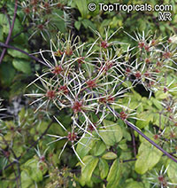 Clematis sp., Clematis, Old Man's Beard, Traveler's Joy, Virgin's Bower  Click to see full-size image