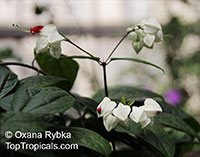 Clerodendrum thomsoniae, Bleeding heart, Glory bower, Clerodendron  Click to see full-size image