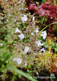 Clinopodium nepeta, Calamintha nepeta, Lesser Calamint  Click to see full-size image