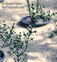 Colletia paradoxa, Colletia cruciata , Anchor Plant  Click to see full-size image