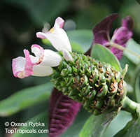 Costus afer, Spiral Ginger  Click to see full-size image