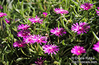 Delosperma cooperi, Mesembryanthemum cooperi, Trailing Iceplant, Hardy Iceplant, Pink Carpet  Click to see full-size image