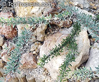 Didierea trollii, Octopus Plant  Click to see full-size image