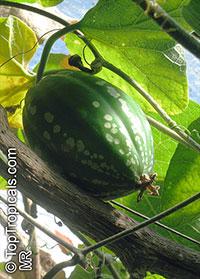 Dieterlea maxima, Ibervillea maxima, Dieterlea  Click to see full-size image