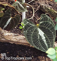 Dioscorea dodecaneura, Dioscorea discolor, Yam  Click to see full-size image