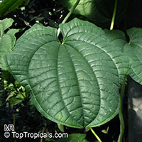 Dioscorea sp., Yam  Click to see full-size image