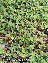Duchesnea indica, Fragaria indica, Potentilla indica, Indian Strawberry, Mock Strawberry  Click to see full-size image
