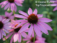 Echinacea purpurea, Rudbeckia purpurea, Purple Coneflower, Kim's Knee High  Click to see full-size image