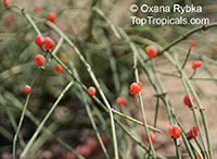 Ephedra sp., Ephedra, Sea Grape  Click to see full-size image