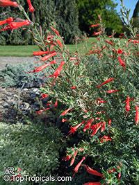 Epilobium canum, Zauschneria californica, California Fuchsia, Hummingbird Trumpet, Firechalice  Click to see full-size image