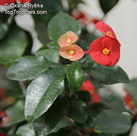 Euphorbia geroldii - Thornless Crown of Thorns  Click to see full-size image