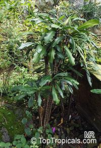 Euphorbia lophogona, Randramboay  Click to see full-size image