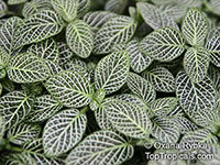 Fittonia albivenis, Fittonia verschaffeltii, Mosaic Plant, Nerve Plant, Painted Net Leaf  Click to see full-size image