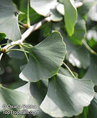 Ginkgo biloba, Fossil tree, Maidenhair tree, Japanese silver apricot  Click to see full-size image