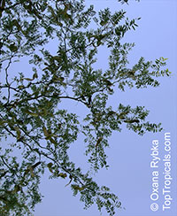 Gleditsia triacanthos, Honey Locust, Honeylocust  Click to see full-size image