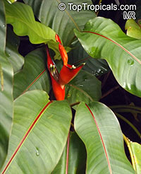 Heliconia sp., Heliconia, Lobster Claw  Click to see full-size image