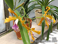 Laelia sp., Laelia  Click to see full-size image