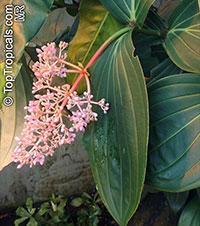 Medinilla sp., Medinilla  Click to see full-size image
