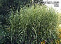 Miscanthus sinensis, Chinese Silver Grass, Zebra Grass, Porcupine Grass  Click to see full-size image