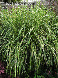 Miscanthus sinensis zebrinus - Gold Bar   Click to see full-size image