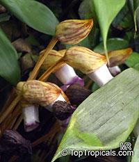 Monolena sp., Monolena   Click to see full-size image