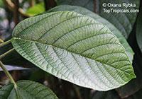 Myriocarpa stipitata  Click to see full-size image