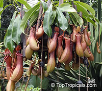 Nepenthes alata (graciliflora) - Pitcher Plant  Click to see full-size image