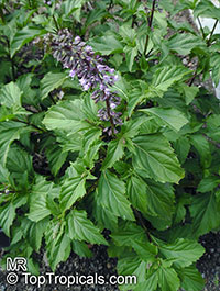 Ocimum carnosum, Pepper Basil  Click to see full-size image