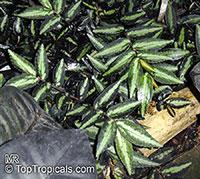 Pellionia repens , Watermelon Pellionia  Click to see full-size image