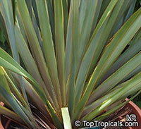Phormium tenax , New Zealand Flax   Click to see full-size image