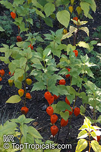 Physalis sp., Ground Cherry  Click to see full-size image