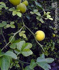 Poncirus trifoliata, Hardy Orange  Click to see full-size image