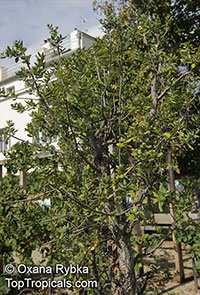 Quercus suber, Cork Oak  Click to see full-size image