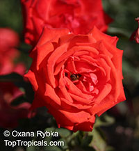 Rosa (double flower) , Rose  Click to see full-size image