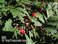 Rubus laciniatus, Cutleaf Evergreen Blackberry  Click to see full-size image