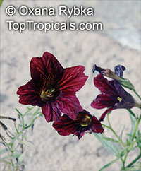 Salpiglossis sinuata, Painted Tongue  Click to see full-size image