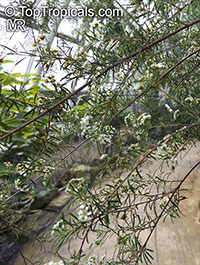 Sannantha virgata, Baeckea virgata, Leptospermum virgatum, Baeckea  Click to see full-size image