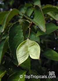 Staphylea x elegans, Elegans Bladdernut  Click to see full-size image