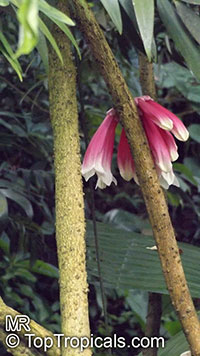 Tecomanthe dendrophylla, New Guinea Creeper vine  Click to see full-size image