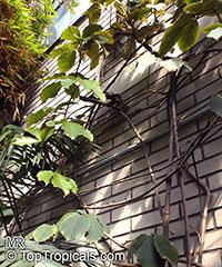 Tetrastigma sp., Tetrastigma, Chestnut Vine  Click to see full-size image