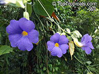 Thunbergia battiscombei, Bengal Clock Vine, Blue Trumpet Vine, Blue Sky vine, Scrambling sky flower, Blue Glory  Click to see full-size image