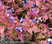 Torenia fournieri, Wishbone Flower, Ladys Slipper, Blue Wing  Click to see full-size image