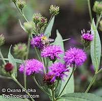 Vernonia sp., Tropical Aster, Ironweed, Bitterleaf  Click to see full-size image