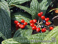 Viburnum rhytidophyllum, Leatherleaf Viburnum  Click to see full-size image