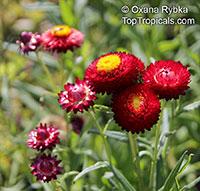 Xerochrysum bracteatum, Helichrysum bracteatum, Bracteantha bracteata, Strawflower, Paper Daisy, Everlasting Daisy  Click to see full-size image