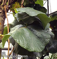 Coccoloba pubescens, Grandleaf Seagrape, Tin Roof Tree  Click to see full-size image