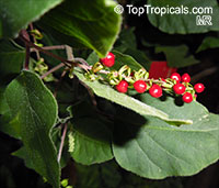 Rivina humilis, Bloodberry, Rouge Plant, Baby Pepper,Pigeonberry, Coralito, Inkberry, Small Pokeweed  Click to see full-size image